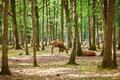 Wild deers in mixed pine and deciduous forest Royalty Free Stock Photo