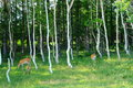 Wild deers in the woods Stock Images