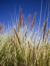 Wild desert grasses against blue sky Stock Images