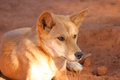 A wild dingo in outback australia red desert Royalty Free Stock Photo