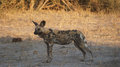 Wild dog in chobe np african national park botswana Stock Images