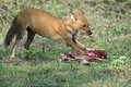 Wild dog feeding on hunted deer dhole at kabani forests also known as the asiatic indian and the red cuon alpinus is Stock Image
