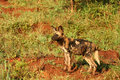 Wild dog puppy (Cape hunting dog) Stock Photos