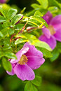 Wild dog rose macro Royalty Free Stock Photos