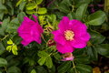 Wild dog rose on the pacific ocean coast Royalty Free Stock Photos