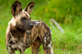 Wild dog in tanzania national park found selous game reserve Royalty Free Stock Image