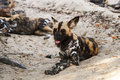 Wild dogs lycaon pictus african dog resting on the ground Stock Images