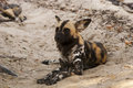 Wild dogs lycaon pictus african dog resting on the ground Royalty Free Stock Images