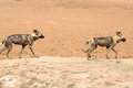 Wild dogs walking on a dusty mound in namibia endangered painted the dry plains Stock Photo