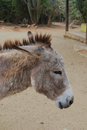 Wild Donkey with His Ears Pinned Back Royalty Free Stock Photo