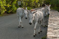 Wild donkeys beg for food from tourists roam streets in st john united states virgin islands begging travelers who pass by Royalty Free Stock Photos