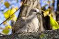 Wild dove Stock Photo