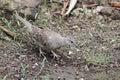 Wild dove in Costa Rica