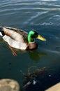 Wild drake or anas platyrhynchos mallard duck latin name swimming Royalty Free Stock Image