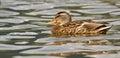 A wild duck Royalty Free Stock Photos