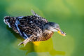 Wild duck anas platyrhynchos female mallard Stock Photography