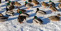Wild duck and Bird in Deer Lake during winter, Canada Jan 2017
