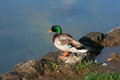 Wild duck on bled lake slovenia Royalty Free Stock Photography