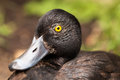 Wild duck closeup eye nature Royalty Free Stock Photography