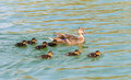 Wild duck with duckling on a lake Stock Images