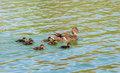 Wild duck with duckling on a lake Royalty Free Stock Photography