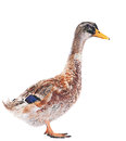 Wild duck farm bird isolated on white Royalty Free Stock Image