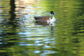 Wild duck female of floating on the water surface Royalty Free Stock Photos
