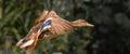Wild duck in flight