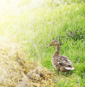 Wild duck on grass in sunlight summer Royalty Free Stock Image