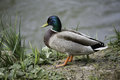 Wild duck male in the mating season Royalty Free Stock Photo