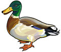 Wild duck mallard male side view illustration isolated on white background Royalty Free Stock Images