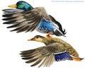 Wild duck mallard watercolor illustration.
