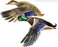 Wild duck mallard watercolor illustration. Royalty Free Stock Photo