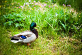 Wild duck in natural green environment Stock Photo
