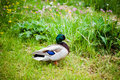 Wild duck in natural green environment Stock Images