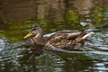 Wild duck photo of a floating on park lake Stock Photo
