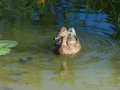 Wild duck in the pond beautiful with reflections Royalty Free Stock Image