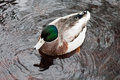 Wild duck in a pond Royalty Free Stock Photo