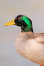 Wild duck portrait detailed of a of river douro Royalty Free Stock Photos