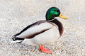 Wild duck is standing on the gravel Royalty Free Stock Image