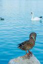 Wild duck standing shy on a rock with lake and white swan in the background Royalty Free Stock Image