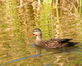 Wild Duck Swimming Royalty Free Stock Photos
