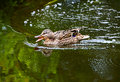 Wild duck swimming the mallard and eating water plants and small animals Royalty Free Stock Image