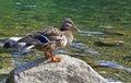 Wild duck on tarn Vrbicke pleso