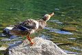Wild duck on tarn Vrbicke pleso