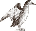 Wild duck vector drawing of the Royalty Free Stock Image