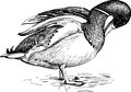 Wild duck vector drawing of the drake Stock Image