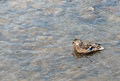 Wild duck on water photo with Stock Image