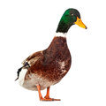 Wild duck on white bird isolated background Royalty Free Stock Photography