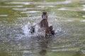 Wild duck young male during breeding season Stock Photos